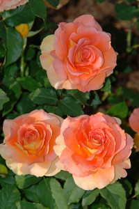 BLOOM-Roses-Floribunda