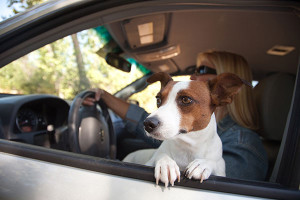 CAR-Driving-with-dogs