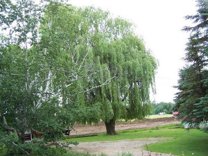 N-willow-trees-taken-down-001