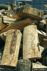 Ash firewood with EAB damage. Photo by Troy Kimoto, www.forestryimages.com