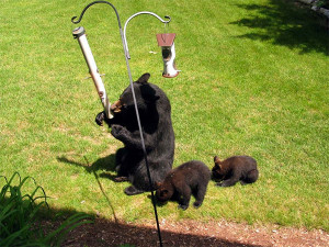 Hungry bears are often attracted to bird feeders. The Department of Natural Resources advises those who want to prevent bear problems to remove bird feeders and other attractants.