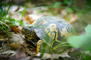 Eastern box turtles, like this specimen at Fort Custer State Recreation Area, are a species of concern in Michigan.