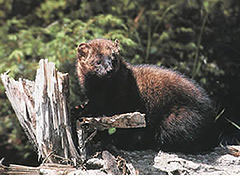 Fishers, which vanished from Michigan in 1936, are making a comeback. The DNR recently confirmed a fisher in Presque Isle County. The above photo is from the Oregon Fish and Wildlife Service