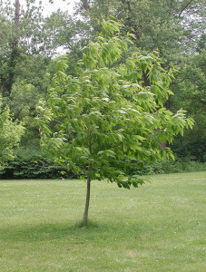 OUT-Nature-niche-Chestnut-sapling