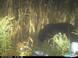 Black bears can even be found near Cedar Springs. This photo of a black bear was caught on a trail cam just northwest of the city back in 2009.
