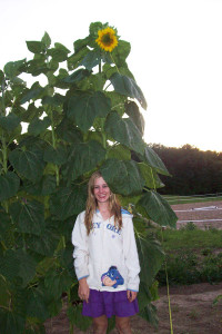 N-Sunflower-Langerank