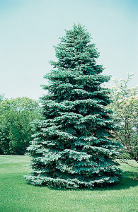 OUT-Receive-10-free-coloradobluespruce