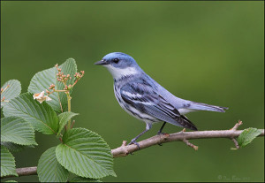 Habitat loss contributes to Cerulean Warbler decline in Michigan. Photo by Daniel Behm, courtesy of Michigan Audubon Society.
