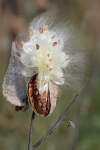 Common milkweed gone to seed.