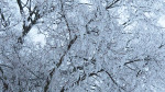 ICE-Maple-tree-full-of-ice-Mindy-Austin-Abbott
