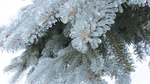 ICE-Pine-trees-Mindy-Abbott