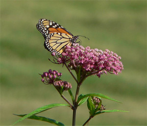 A Monarch Butterfly feeding on Swamp Milkweed.