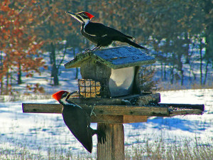 Choose the right bird food, and you may see something like this unusual shot of a male (lower) and female Pileated Woodpecker, feeding at Nelson Township resident David Marin's feeder. David sent us this photo last spring.