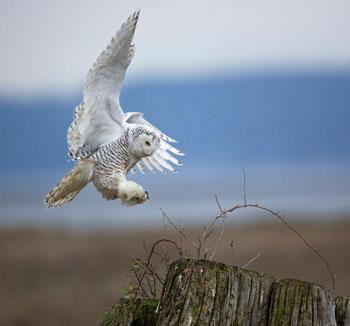 N-Birdfeeding-Snowy-Owl-1775_Diane-McAllister_British-Columbia_2013_350px