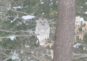 N-Snowy-owl