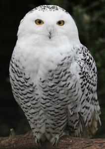 Female Snowy Owl. The male is more white.