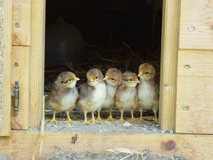 HEA-Spring-chicks