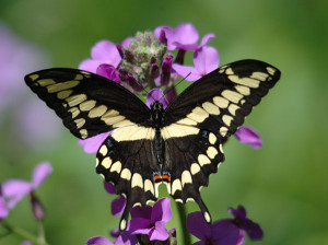 OUT-Nature-niche-SJM-GiantSwallowtail-OdyB13May2012-12-copy-2