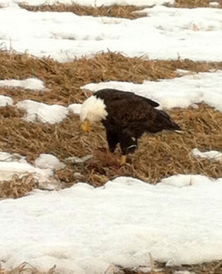 N-Bald-eagle-photo