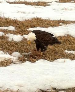 N-Bald-eagle-photo