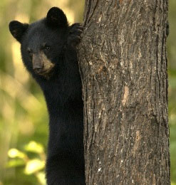 OUT-black-bear