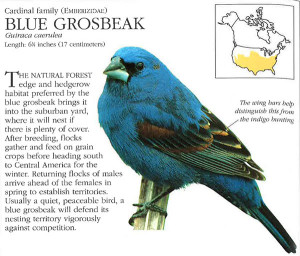 N-Indigo-bunting-vs-blue-grosbeak-BirdfeederBook
