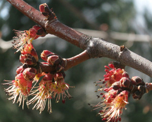 N-Maple-buds
