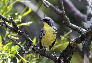 Kirtland's Warbler. Photo by Velma Knowles.
