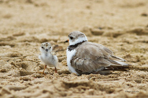 Piping Plover and Chick. Photo by Roger Eriksson.