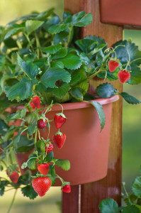 DIG-strawberries-in-a-pot