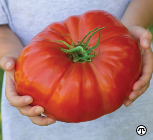 Homegrown tomatoes like this giant SteakHouse can be both tasty and budget friendly.