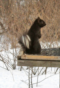 N-Squirrel-white-tailed-black1