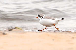 OUT-Celebrate-40-years-Piping-Plover-web
