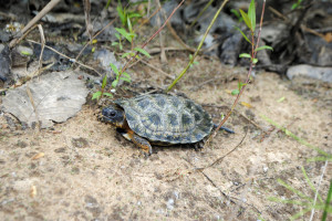 *OUT-woodturtle2 walks across sand