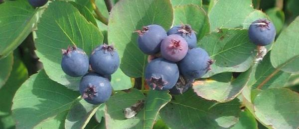 BLOOM-Fresh-market-Saskatoon-berries