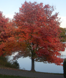 AWE-Arbor-Day-Red-maple