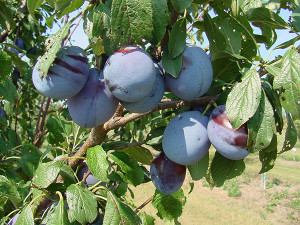 Photo from michiganplum.org. Check out their website for more info on plums grown in Michigan and to find recipes.