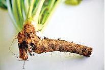 AWE-horseradish