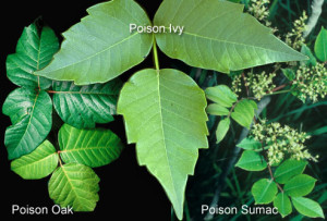 This photo from WebMD shows the leaves of poison ivy, poison oak and poison sumac.