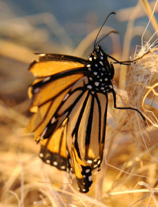 OUT-Nature-niche-Tattered-Monarch-web