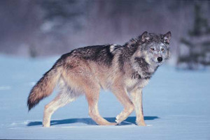 The gray wolf. Photo from the Encyclopedia Britannica online (Britannica.com)