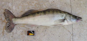 the zander, a relative of the walleye and found in Europe is one of the seven species recently added to Michigan DNR's list of unwanted aquatic invasive species.