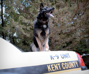Sabre, a new patrol dog, will be teamed up with Kent County Sheriff Deputy Dan Alderink. Photo courtesy of the KCSD.