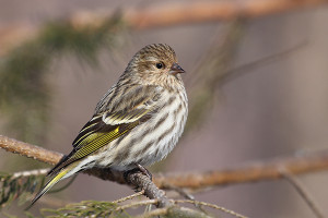 "The pine siskin is a North American bird in the finch family. Photo credit: ""Carduelis pinus CT7"" by Cephas - Own work."
