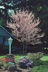 The Easter Redbud is one of the free trees you receive for joining the Arbor Day Foundation. Photo courtesy of the Arbor Day Foundation.