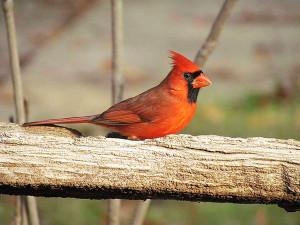 A Northern Cardinal by Errol Taskin/Project Feederwatch