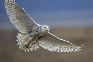 Snowy Owl. Diane McAllister-GBBC