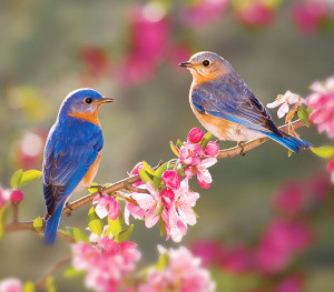 DIG-Is-your-yard-wildlife-friendly-Bluebirds