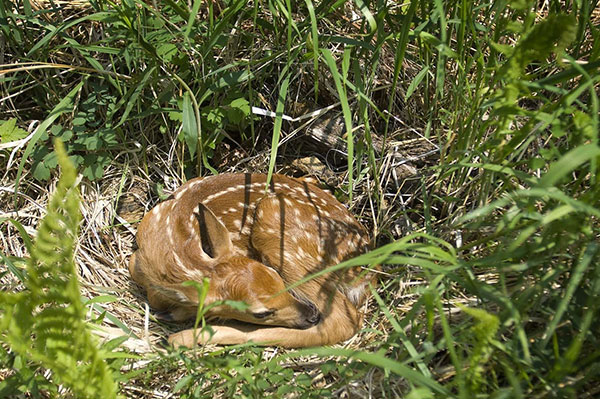 Springtime brings sightings of baby animals, like this young fawn hidden in the tall grass. While fawns may seem abandoned, they almost certainly are not. Deer often leave fawns unattended for long periods to help prevent them from being detected by predators.