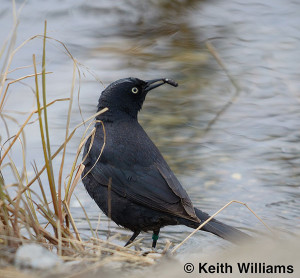 OUT-Rusty-Blackbird-male